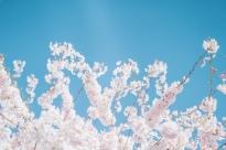 CherryBlossom-3