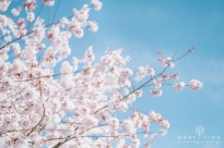 CherryBlossom-4
