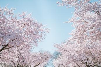 CherryBlossom-5